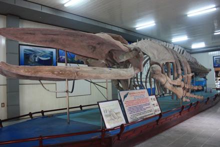 Bộ xương cá voi trưng bày tại viện hải dương học Việt Nam