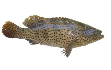 Cá song Cát Bà
