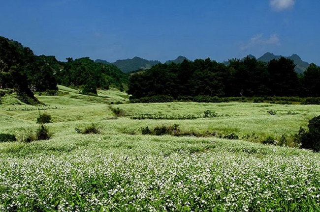 Hoa cải phủ trắng sau rừng thông Bản Áng